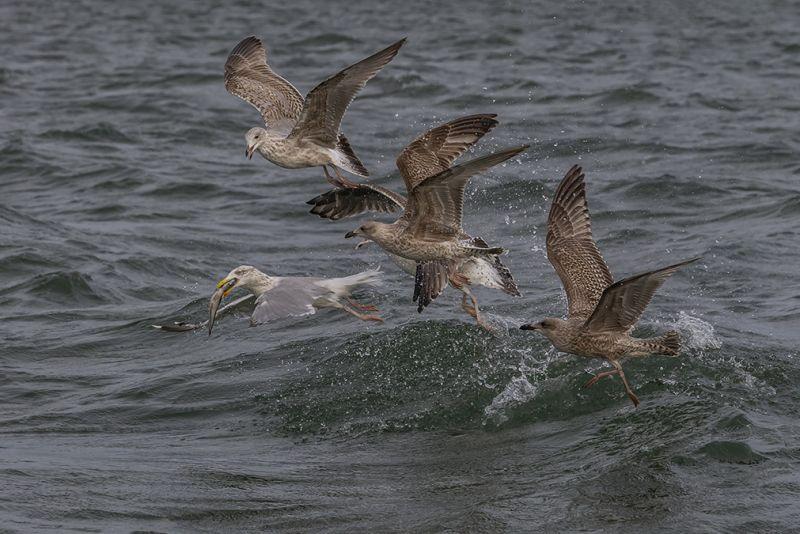 Seagull Chase, Chishty  Haider , England