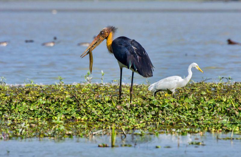 Disappointed Egret, Das  Mayurjyoti , India