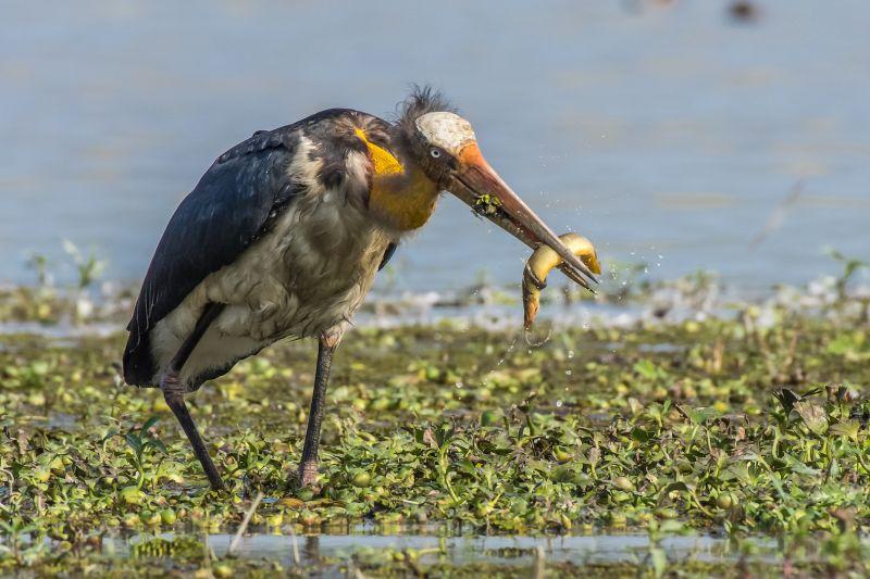 A Good Catch, Das  Mayurjyoti , India