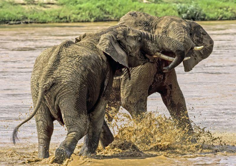 Elephant Fight, Guy  Graeme , Malaysia
