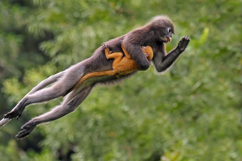 Langur Leap, Guy  Graeme , Malaysia