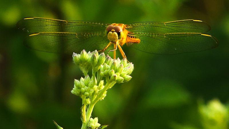 Dragonfly, Deshpande  Anil Kumar , India