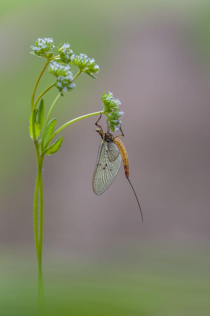 Hanging Mayfly, Panhuyzen  Jacky , Belgium