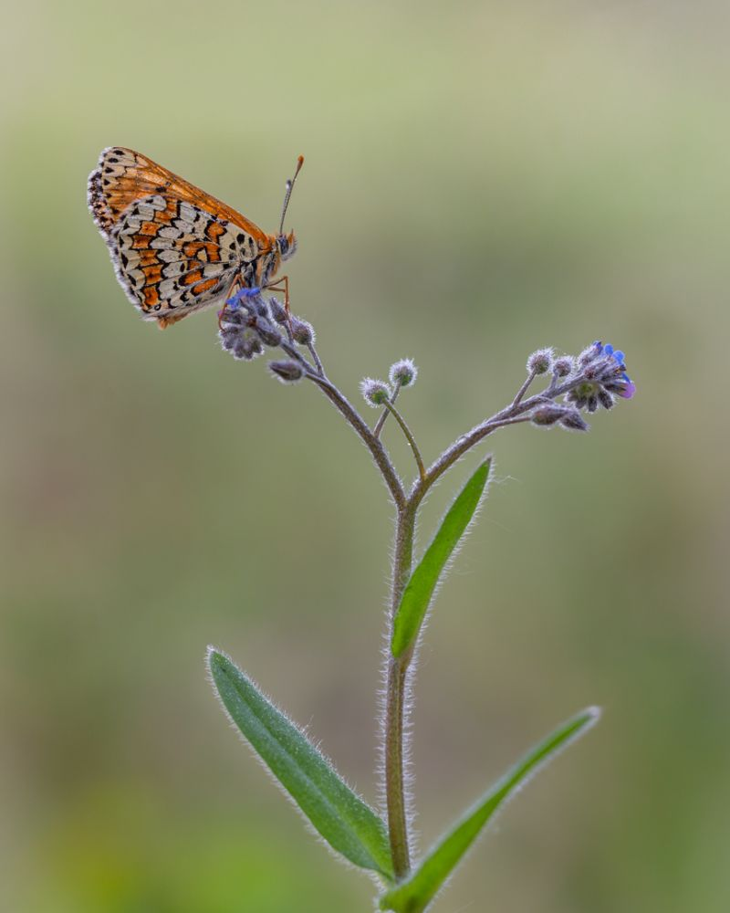 Fritillary Papillon, Panhuyzen  Jacky , Belgium