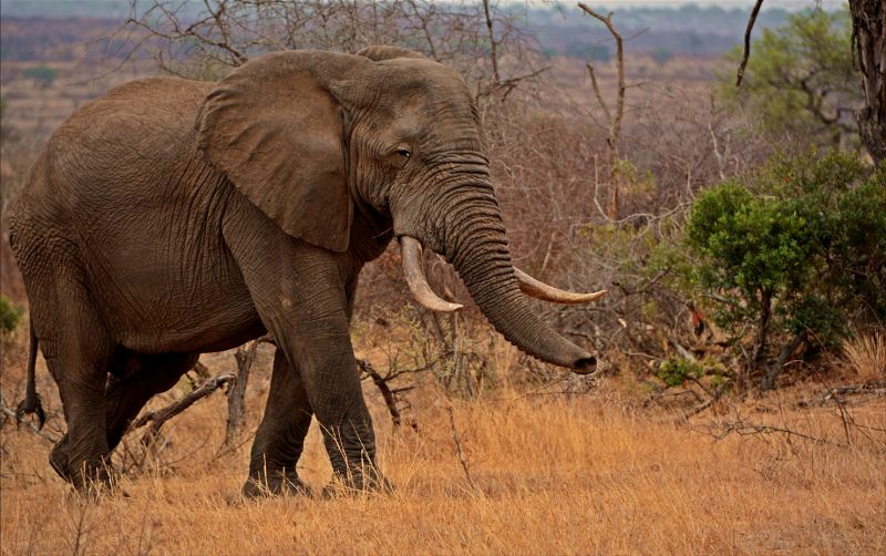 Elephant, Du Plessis  Kittie , South Africa