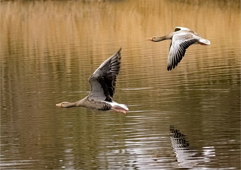 Flying Geese, Crawford  Andrew , England