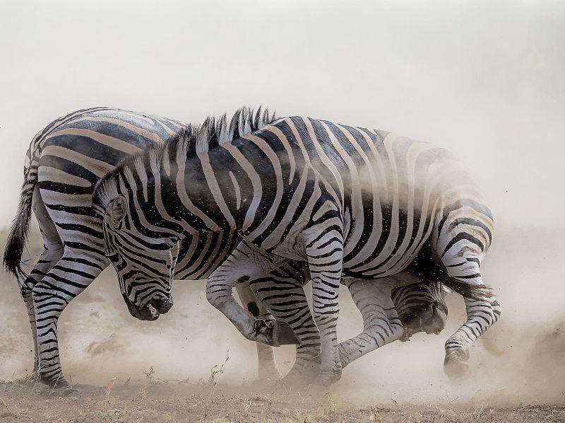 Zebra Anger, Du Toit  Treurnicht , South Africa