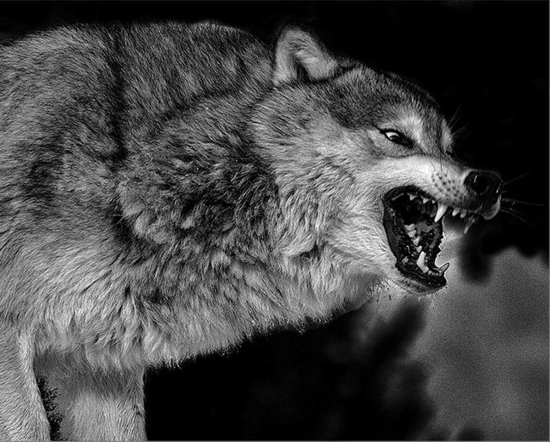 Angry Wolf, Braunstein  Michael , Usa