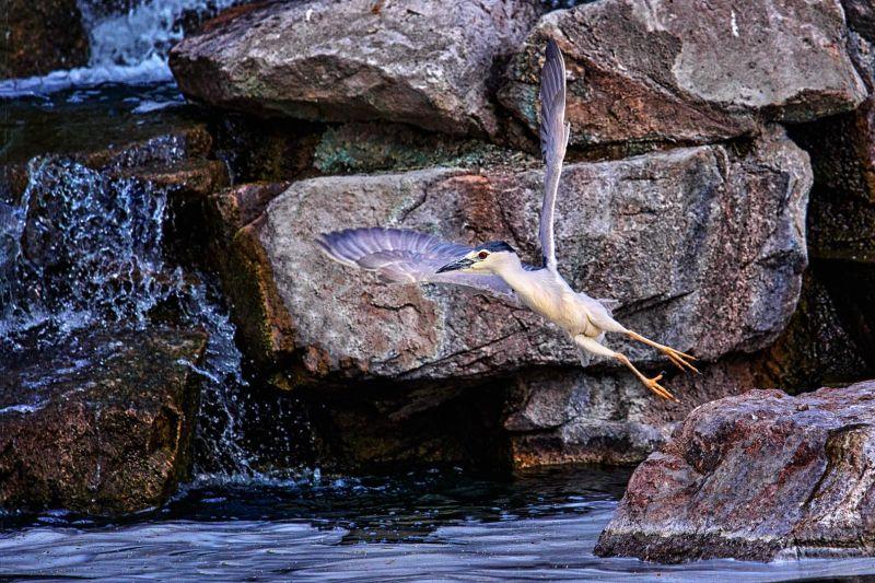 Blue Heron, Braunstein  Michael , Usa