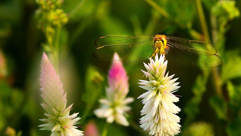 Dragonfly 1, Deshpande  Anil Kumar , India