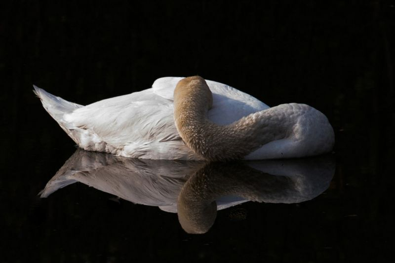Sleeping Swan, Hennings  Gunther , Germany