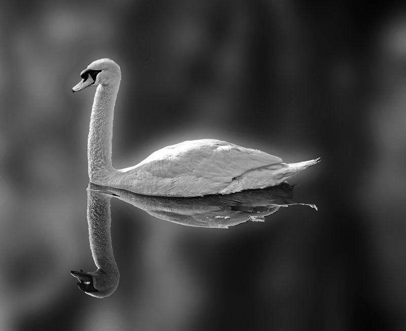 Proud Swan, Hennings  Gunther , Germany