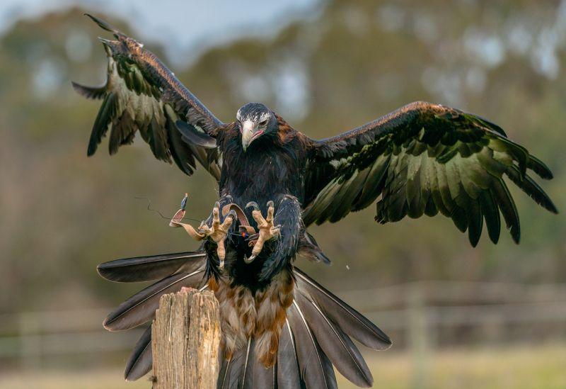 Eagle Almost Landed, Kleindienst  Valerie , Australia