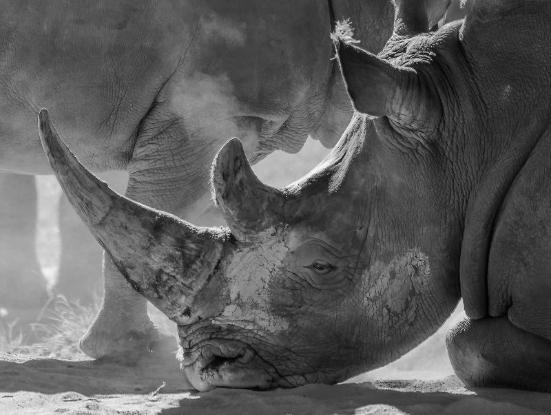 Rhino Resting, Kleindienst  Valerie , Australia