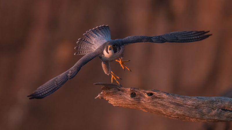 Peregrine Falcon Taking Off, Fan  Jin , Usa