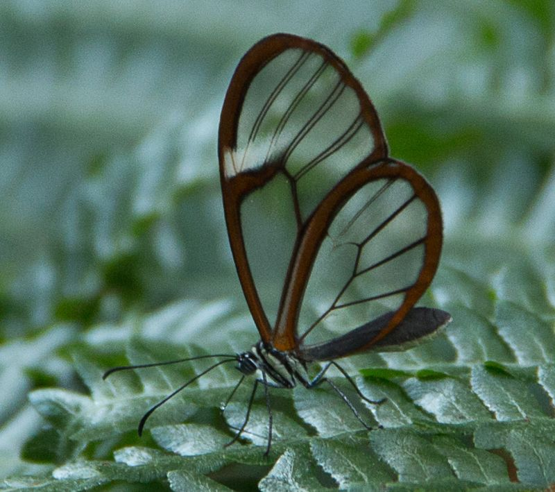 Glass-wing-butterfly, Mclaughlin  Ed , Usa