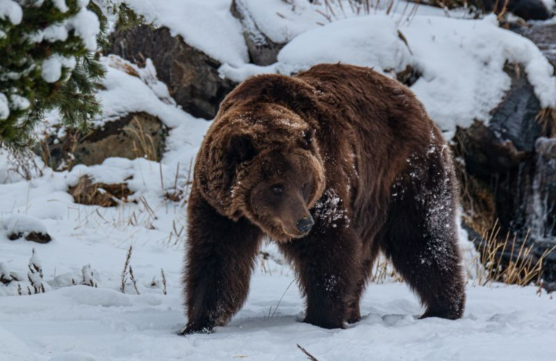 Snow-bear, Mclaughlin  Ed , Usa