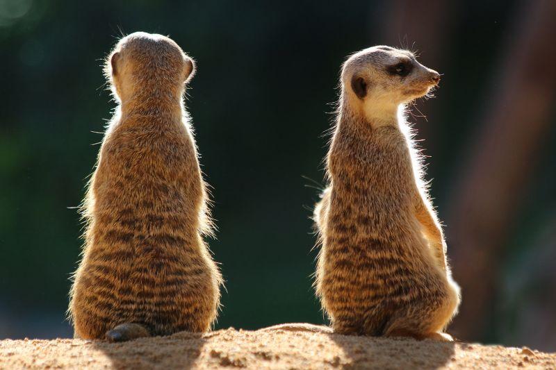 Two Meerkats, Catania  Gottfried , Malta