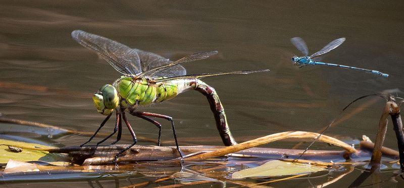 Dragonfly And Damselfly, Price  David , England