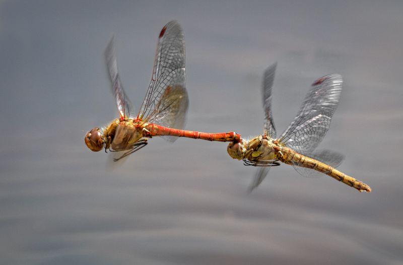 Common Darter Mating In Flight, Price  David , England