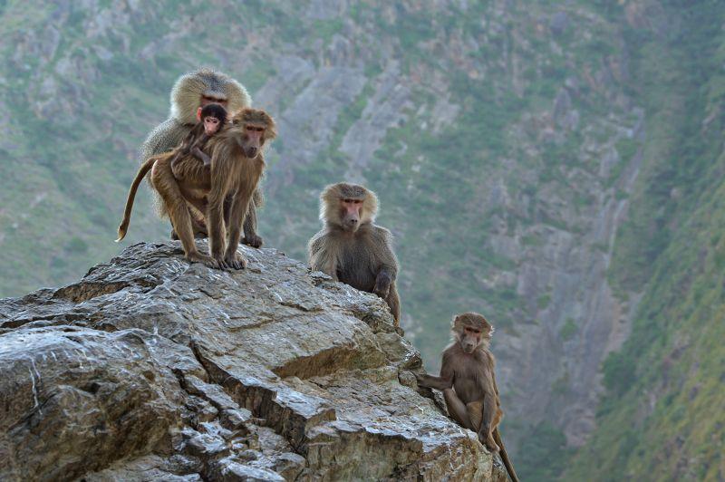 Monkeys, Alqahtani  Amani , Saudi Arabia