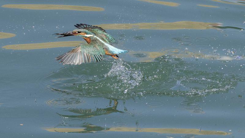 Little Kingfisher Catching Fish, Chow  Wo Ming , Hong Kong