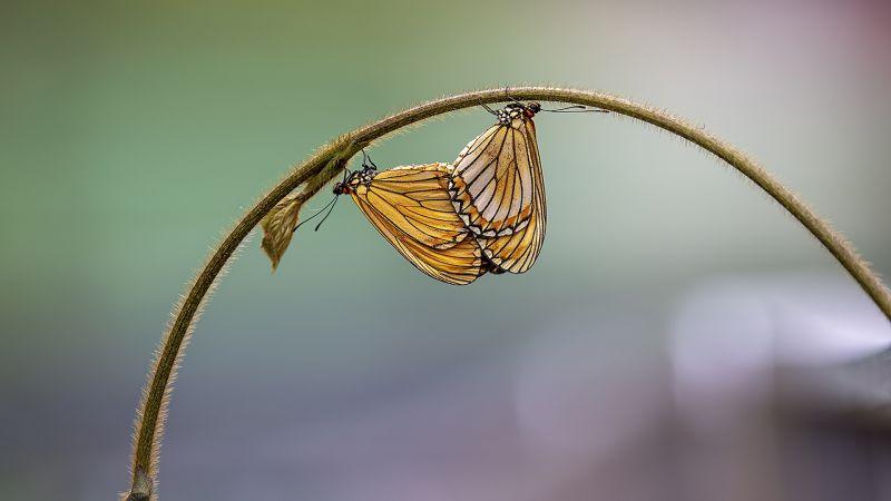 Mating Of Ramie Butterfly, Chow  Wo Ming , Hong Kong
