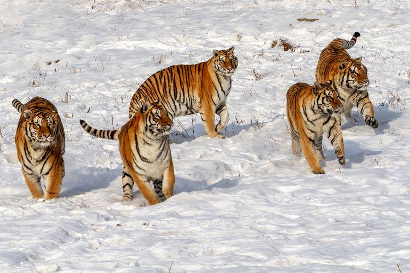 Five Tigers, Olsen  Asbjorn M , Norway