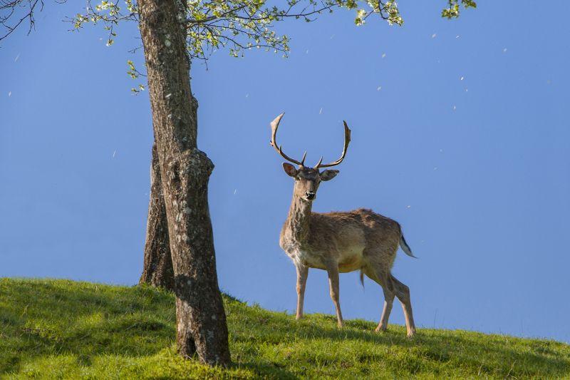 Deer, Suljanovic  Jasmin , Slovenia