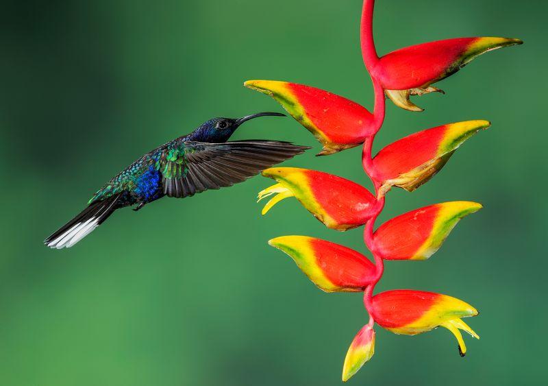 VS Hummingbird Approaching Flower, Huilgol  Ajit , India