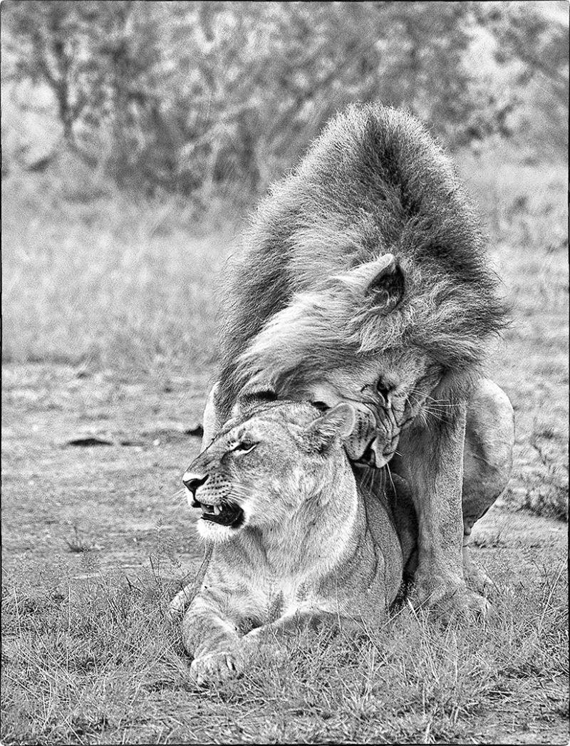Lions Mating2, Huilgol  Ajit , India