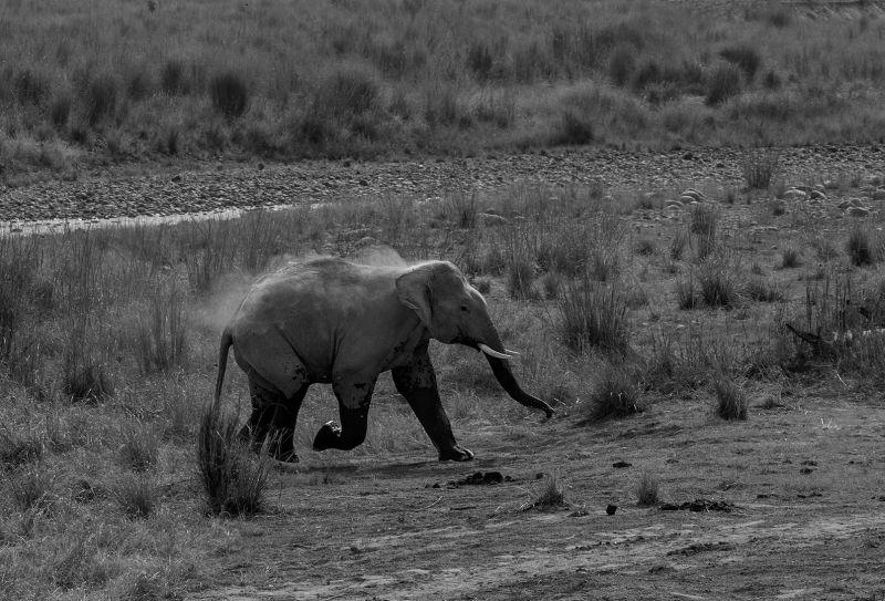 Indian Elephant Running, Huilgol  Ajit , India