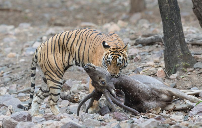 The Bite Of Death, Huilgol  Ajit , India