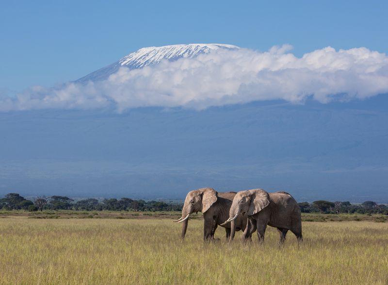Elephants And Mt Kilimanjaro, Huilgol  Ajit , India