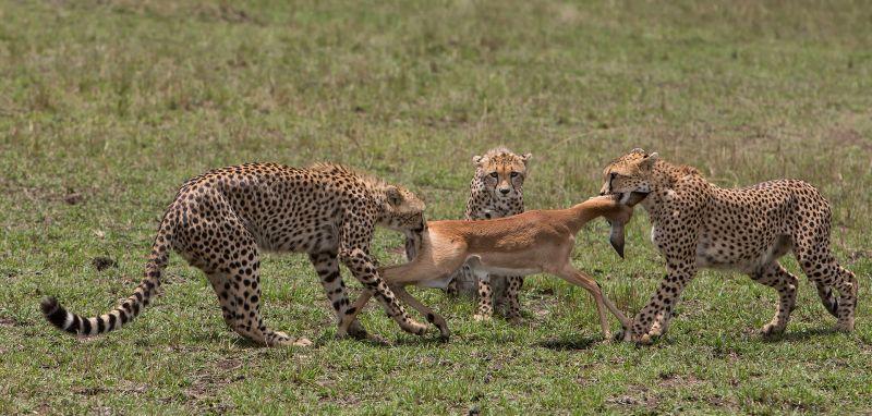 Cheetah Tug Of War, Huilgol  Ajit , India