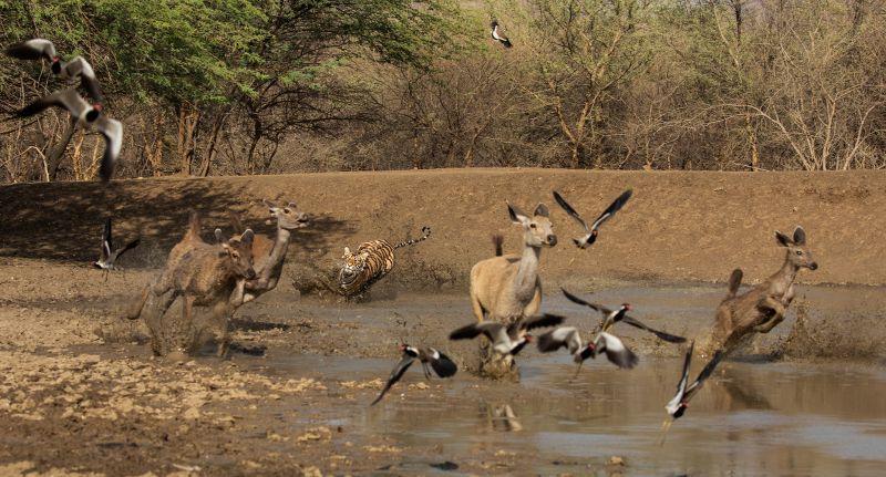 Tiger Attack, Huilgol  Ajit , India