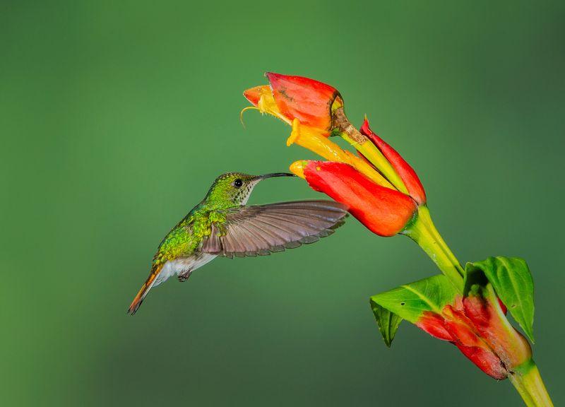 Rufous Tailed Hummingbird, Huilgol  Ajit , India