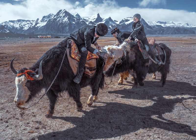 Wild Yak Competition On The Plateau01, Tong  Jiangchuan , China