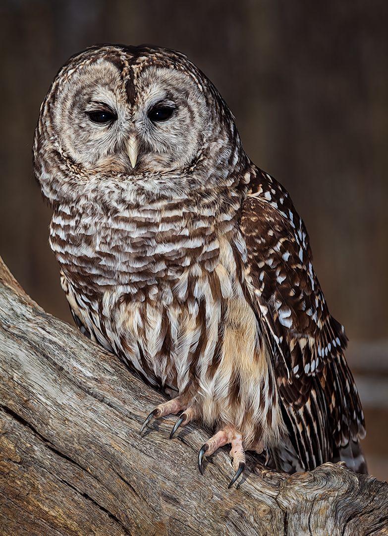 Dignified Barred Owl, Dedonato  Donald , Usa