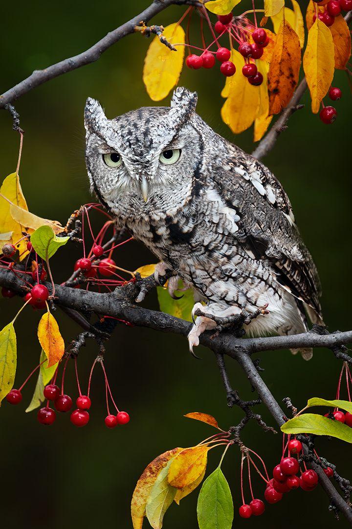 Screech With Autumn Berries, Dedonato  Donald , Usa