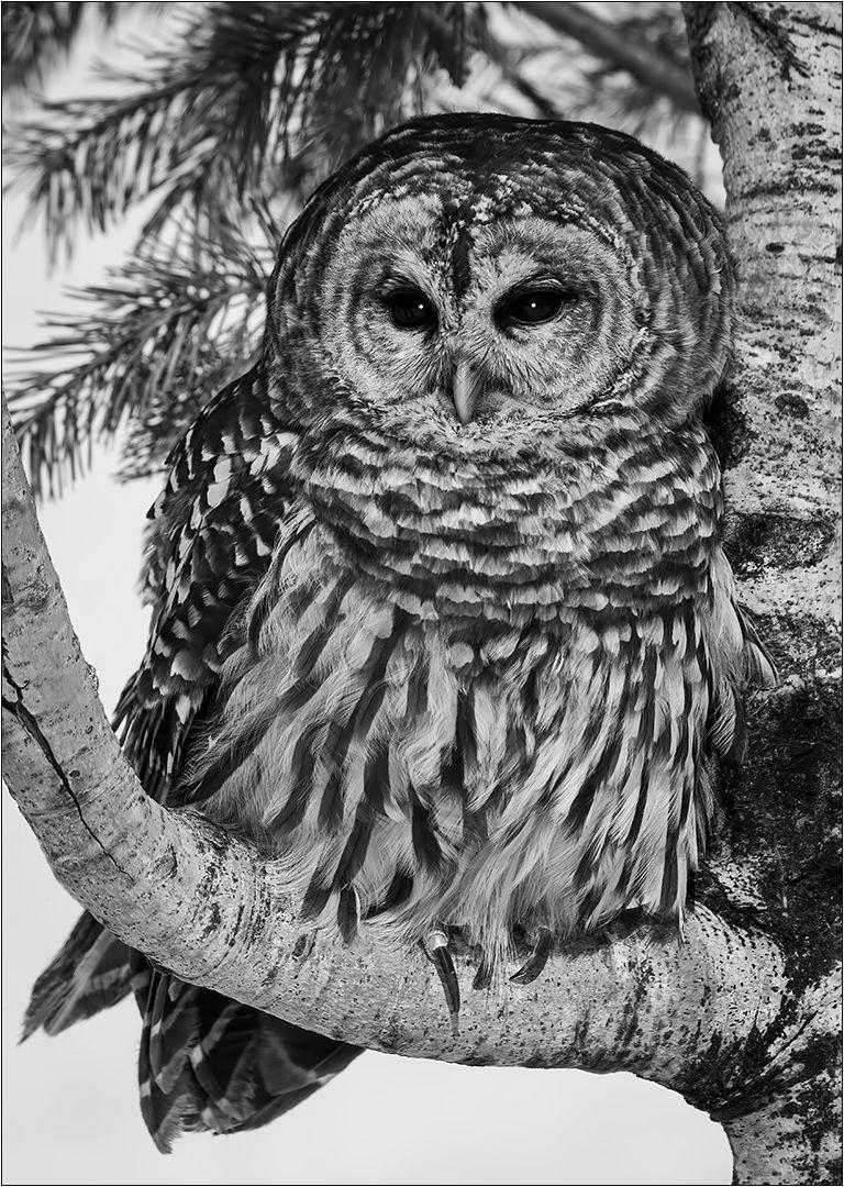 Barred Owl On Birch, Dedonato  Donald , Usa