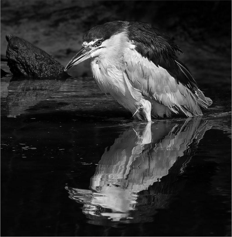 Black-Crowned Night Heron, Dedonato  Donald , Usa