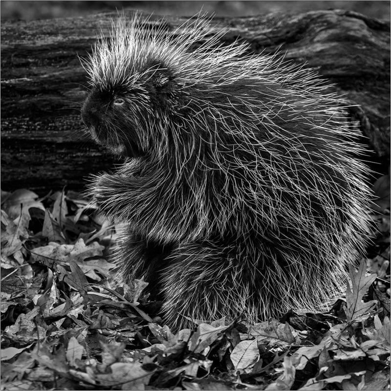 Porcupine In The Leaves, Dedonato  Donald , Usa