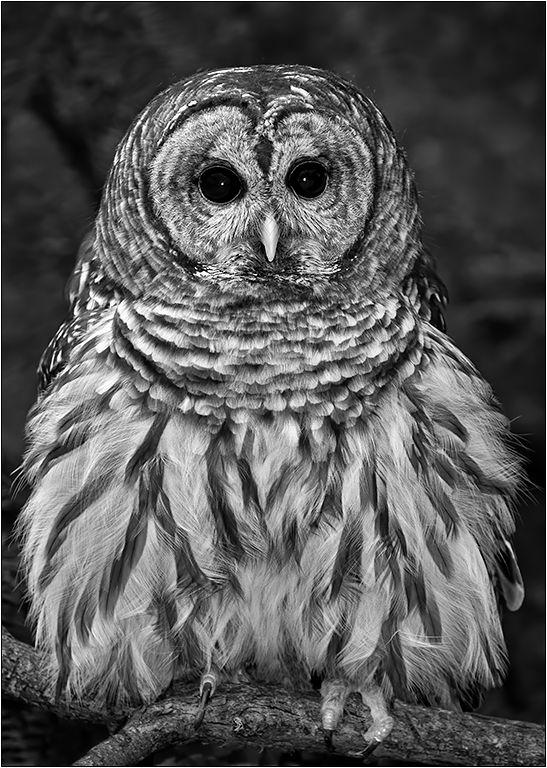 Barred Owl Fluffed Up, Dedonato  Donald , Usa