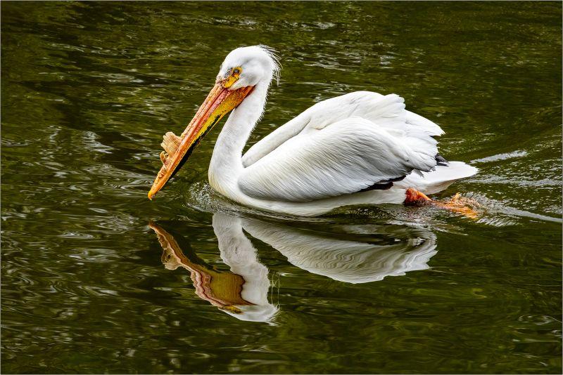 American White Pelican And Reflection, Dedonato  Donald , Usa