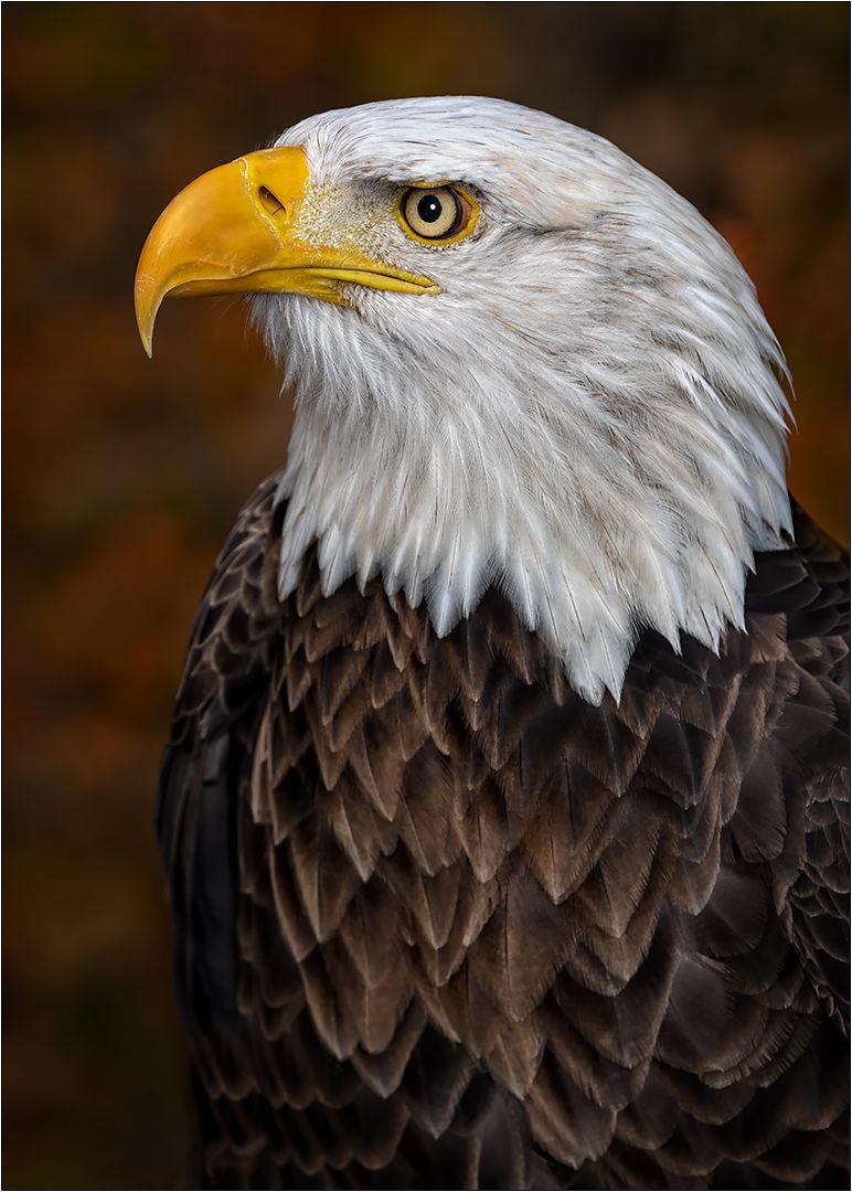 Dignified Bald Eagle, Dedonato  Donald , Usa