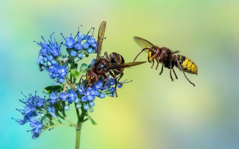 Two Hornets, Schmitz  Willi , Germany