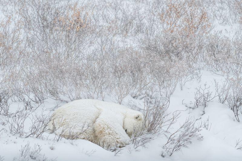 Snowy Nap, Poggioni  Angela , Usa