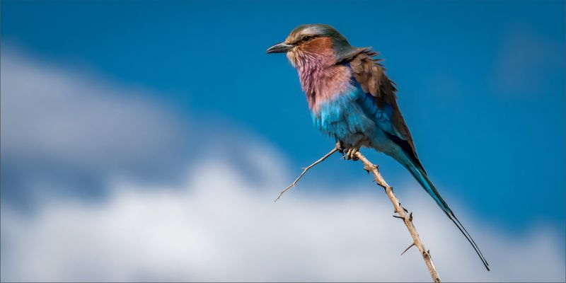 Windswept Lilac Breasted Roller, Murray  Vivienne , South Africa