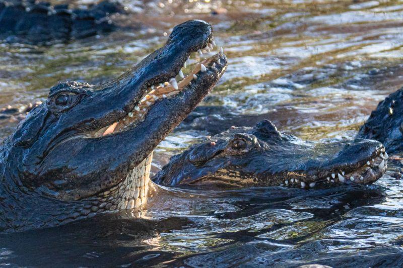 Hungry Alligators, Sokolsky  Oleg , Usa